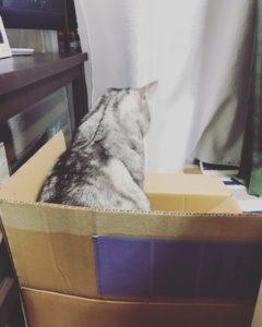 ダンボールの中がとっても大好きでついつい入ってしまう猫の後ろ姿