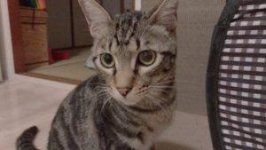 キジトラの雄猫がこちらを見つめている写真